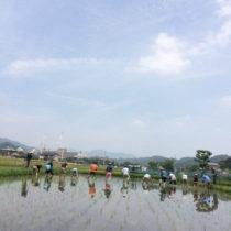 5月29日の田植えは快晴に恵まれました