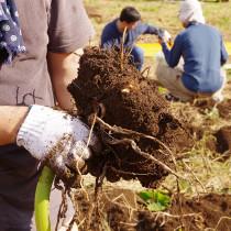 みかん狩り&里芋掘りイベントレポート『お米を作ろう!伊勢原2016』