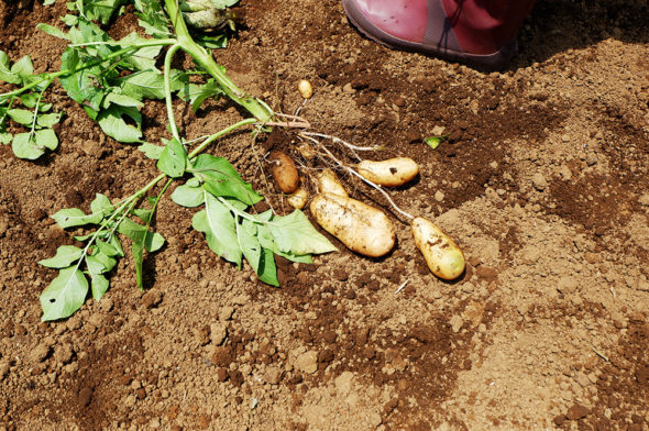6月30日(日)ジャガイモ掘り開催予定です