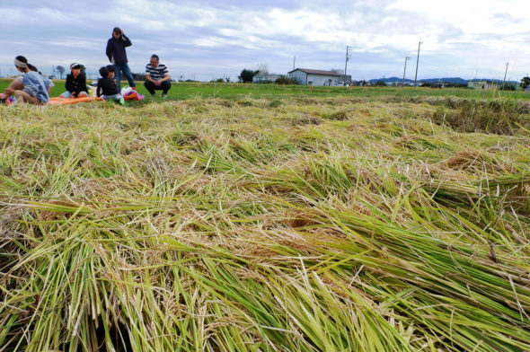 10月20日稲刈り開催します