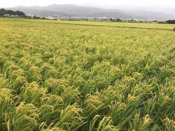 2018年10月14日稲刈りイベント開催します